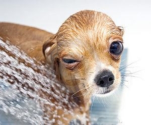 winking-funny-chihuahua-taking-shower-12624640